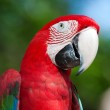 Red Macaw perched on a tree — Stock Photo #10447312