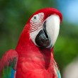 Red Macaw perched on a tree — Stock Photo #10447316
