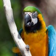 Blue and yellow Macaw perched on a tree — Stock Photo