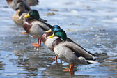 Mallard ducks lined up. — Stock Photo