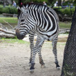Black and white zebra - Stock Photo
