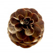 Spruce Pine Cone - Stock Photo
