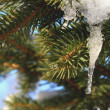 Spruce Tree Branch in Winter — Stock Photo