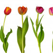 Royalty-Free Stock Photo: Colorful  tulips