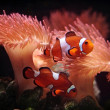 Stock Photo: Clownfishes