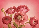 Ranunculus — Stock Photo