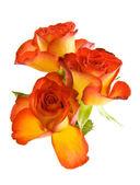 Beautyful roses — Stockfoto