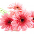 Pink gerbera´s - Stock Photo