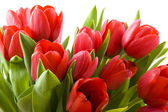 Tulips from Holland — Stock Photo
