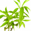 Bamboo leaves — Stock Photo #9839779