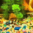 Aquarium with plants and fish - Stock Photo