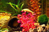 Aquarium with plants and fish — Stock Photo