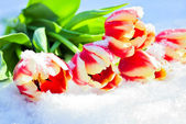 Five red tulips lie on snow on the sun — Stock Photo