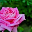 Stock Photo: Large pink garden rose on green background