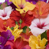 Hibiscus flowers — Stock Photo