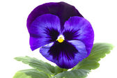 Blau lila stiefmütterchen isoliert weiß — Stockfoto