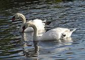 Love of swans — Stock Photo