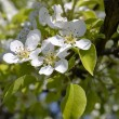 Stock Photo: Blossoming branch of pear