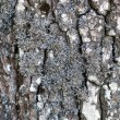 Pine bark with lichen - Stock Photo