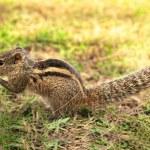 Closeup of a little female chipmunk — Stock Photo #8282539