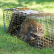 Raccoon Trapped in a Cage — Stock Photo #10067546