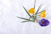 Crocus in Snow Purple and Yellow — Stock Photo