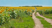 Yellow sunflower field — Stock Photo