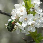 Green beetle on cherry petals — Stock Photo