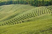 Green tea garden — Stock Photo