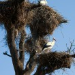 stork nest — Stock Photo