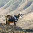 Goats in the mountain — Stock Photo