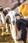 Wilde geiten in de bergen — Stockfoto