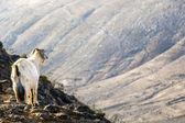 Wild goats in the mountain — Stock Photo