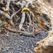 Lizard on volcanic ground - Foto Stock