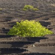 A vineyard in Lanzarote island, growing on volcanic soil — Stock Photo