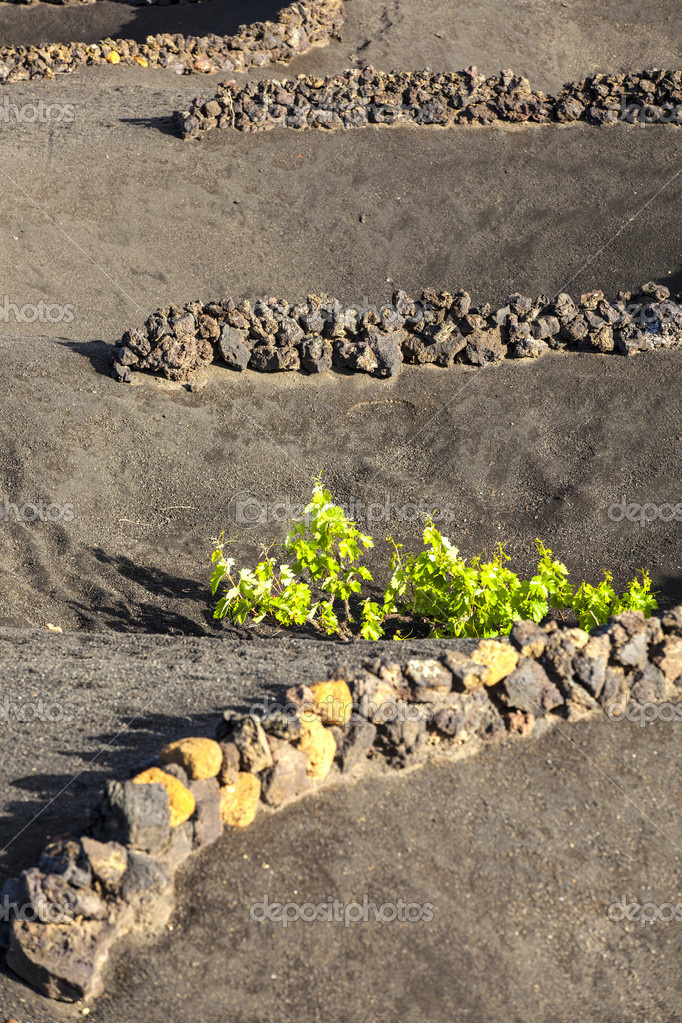 A vineyard in Lanzarote island, growing on volcanic soil — Stock Photo #10326353