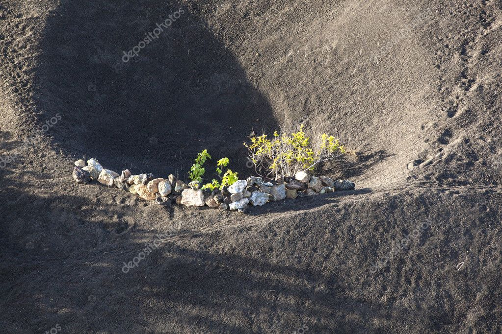 A vineyard in Lanzarote island, growing on volcanic soil — Stock Photo #10326716