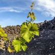 Vineyard in Lanzarote island, growing on volcanic soil — Stock Photo #10481391