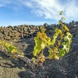 Vineyard in Lanzarote island, growing on volcanic soil — Stock Photo #10481465