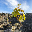 Vineyard in Lanzarote island, growing on volcanic soil - Stock Photo