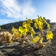 Vineyard in Lanzarote island, growing on volcanic soil — Stock Photo #10481889