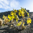 Vineyard in Lanzarote island, growing on volcanic soil — Stock Photo #10481918