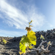 Vineyard in Lanzarote island, growing on volcanic soil — Stock Photo #10481991