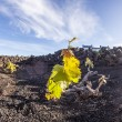 Vineyard in Lanzarote island, growing on volcanic soil — Stock Photo #10483306
