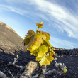 Vineyard in Lanzarote island, growing on volcanic soil — Stock Photo