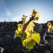 Vineyard in Lanzarote island, growing on volcanic soil — Stock Photo #10483906