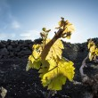 Stock Photo: Vineyard in Lanzarote island, growing on volcanic soil