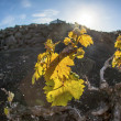 Vineyard in Lanzarote island, growing on volcanic soil — Stock Photo #10483959
