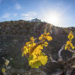 Vineyard in Lanzarote island, growing on volcanic soil — Stock Photo #10484190