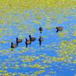 Comb ducks swimming in the lake at the Keoladeo national Park in — Stock Photo